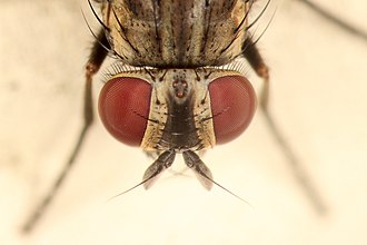 Housefly - 2 Compound eyes along with 3 ocelli are seen