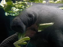 Profile photo of out-of-water manatee
