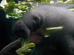 meaning of manatee