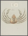 Hyas araneus - - Print - Iconographia Zoologica - Special Collections University of Amsterdam - UBAINV0274 095 11 0002.tif