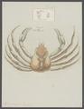 Hyas araneus - - Print - Iconographia Zoologica - Special Collections University of Amsterdam - UBAINV0274 095 11 0002.tif