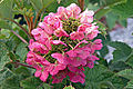 Hydrangea cultivar, Ruby Slippers.jpg