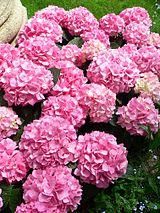 Alternate common names: French Hydrangea, Lacecap Hydrangea, Mophead Hydrangea, Penny Mac and Hortensia. Native to Japan.