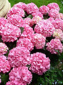 Hortensia plant wikipedia - Cuidados de las hortensias ...
