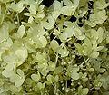 Hydrangea paniculata 05 ies.jpg