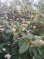 Hydrangea sargentiana Hydrangea aspera sargentiana BotGardBln07122011A.JPG