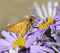Hylephila phyleus on Aster amellus.jpg