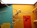Hylobates moloch skeleton1.jpg