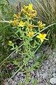 Hypericum perforatum L. familija (Hypericaceae) 06.jpg