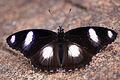 Hypolimnas misippus male dorsal view 20120722.jpg