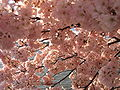 IMG 2383 - Washington DC - Tidal Basin - Cherry Blossoms.JPG