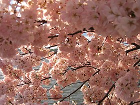 IMG 2383 - Washington DC - Tidal Basin - Cherry Blossoms.JPG