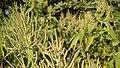 IMG common bush in himachal.jpg