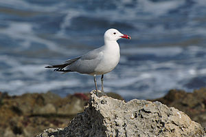 Audouin's gull - Image: Ichthyaetus audouinii