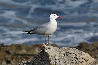 Tuscan Archipelago - Audouin's gull