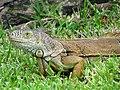 Iguana - Chetumal - Quintana Roo - Mexico (15099987863).jpg