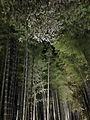 Illuminated Sagano bamboo forest 13.jpg