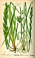 Illustration Leymus arenarius and Lolium temulentum0.jpg