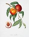 Illustration from Pomona Italiana Giorgio Gallesio by rawpixel00016.jpg