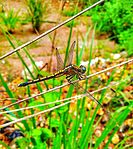Image dragonfly.jpg