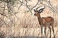 Impala buck eats (5069426265).jpg