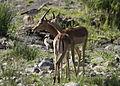 Impala males nuzzling (13662397833).jpg