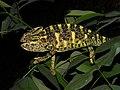 Indian Chameleon Chamaeleo zeylanicus SGNP by Raju Kasambe DSCF0251 (1) 06.jpg