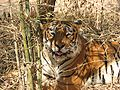 Indian Tiger.jpg