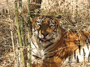 Conservation-reliant species - Bengal tiger at Bannerghatta National Park, Bangalore, India.
