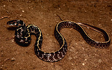 Indian egg eater snake Elachistodon westermanni by Krishna Khan Amravati.jpg