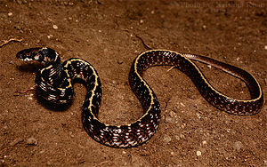 Indian egg-eating snake - Indian egg-eater at Amravati