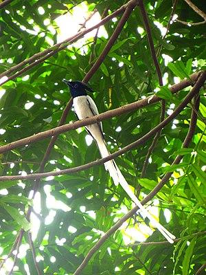 Indian paradise flycatcher - Adult male T.p. leucogaster in Pannipitiya, Sri Lanka.
