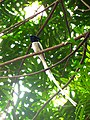 Indian paradise flycatcher (male) - Sri Lanka - 01.jpg