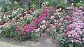 Int. Rose Test Garden, PDX, 2017 - 7.jpg