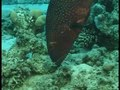 File:Interspecific-Communicative-and-Coordinated-Hunting-between-Groupers-and-Giant-Moray-Eels-in-the-pbio.0040431.sv003.ogv