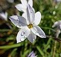 Ipheion uniflorum in Jardin des Plantes 04.jpg