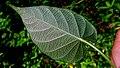 Ipomoea batatoides Choisy (15535741729).jpg