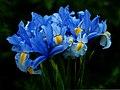 Iris (5560221308).jpg