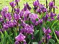 Iris germanica1.jpg