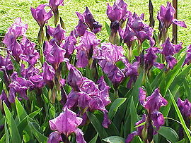 http://upload.wikimedia.org/wikipedia/commons/thumb/1/16/Iris_germanica1.jpg/270px-Iris_germanica1.jpg