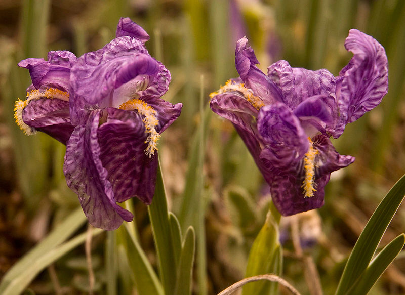 File:Irisflower.jpg