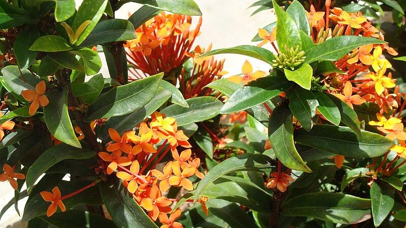 feuilles et fleurs du geranium jungle