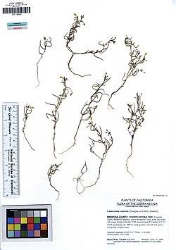 JEPS109345 Camissonia contorta (5554012778).jpg