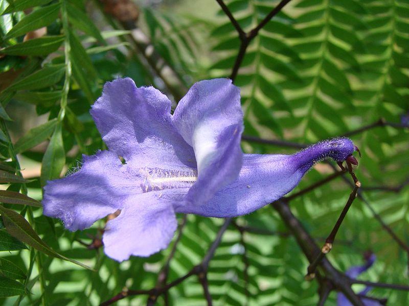 détail fleur de jacaranda