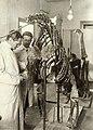 Jaekel and Von Zschock preparing Plateosaurus Skeleton.jpg