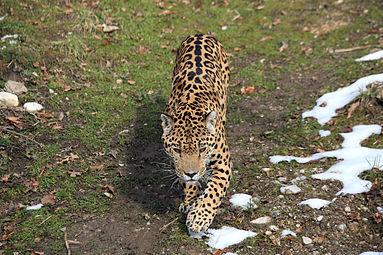 Jaguar (Panthera onca) Zoo Salzburg 2014 d.jpg