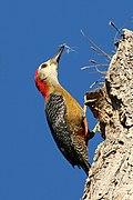 Jamaican woodpecker (Melanerpes radiolatus) male.jpg