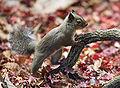 Japanese Squirrel edit.jpg
