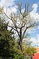 Japanischer Schnurbaum Jena 2015.jpg