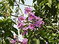 Jarul flowers Lagerstroemia speciosa DSCN8774 (4).jpg
